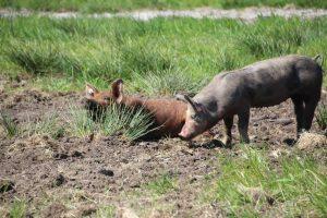 Haben mit dem Eis nichts zu tun, oder doch? Immerhin bekommen die beiden Freilandschweine die Waffelreste.