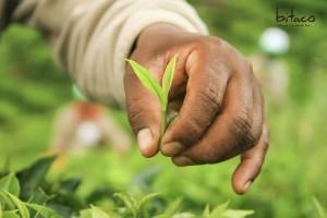 Das Import Promotion Desk setzt auf Nachhaltigkeit und präsentiert auf der Anuga das neue Produkt Bitaco®-Unique Columbian Tea.