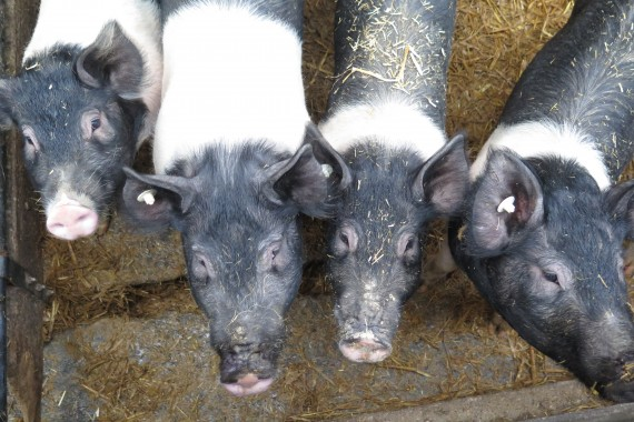 Schweine, Rinder, Hühner – für alle Tiere und auch Menschen sind Leguminosen wertvolle Eiweißlieferanten. (Foto: m&p: public relations)