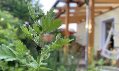 Pflanzenschutz: So klappt's im heimischen Garten