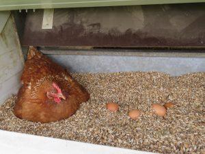 Die Legenester der Hühnermobile sind mit Dinkelspelz gefüllt, was das Eierlegen dort besonders attraktiv macht.