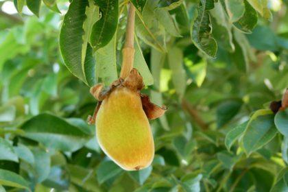 Baobab - Affenbrotbaum