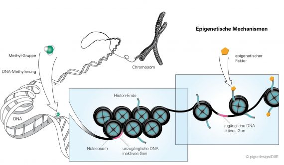 Epigenetische Mechanismen_pigurdesign_DIfE