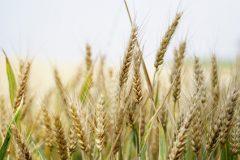 Finger weg von Weizen