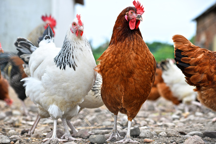 Fipronil in Eiern und Geflügelfleisch