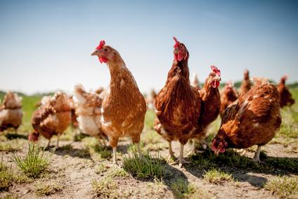 Hühner (Freilandhühner)