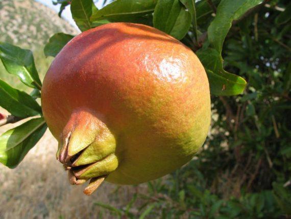 K800_Granatapfel-Frucht