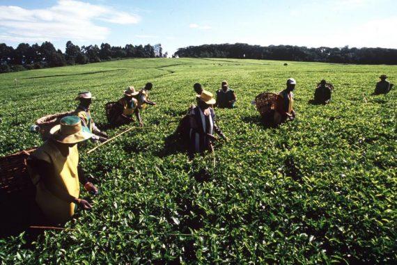 Tee-Pflücker in Kericho, Kenia