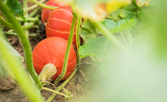Kürbis: Leckere Fruchtgiganten mit Gruselpotenzial