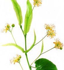 Lindenblueten.jpg