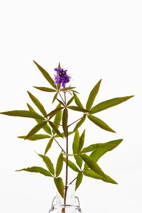 Mönchspfeffer (Vitex agnus-castus), Heilpflanze, Blätter, violette Blüten, weisser Hintergrund, Freisteller