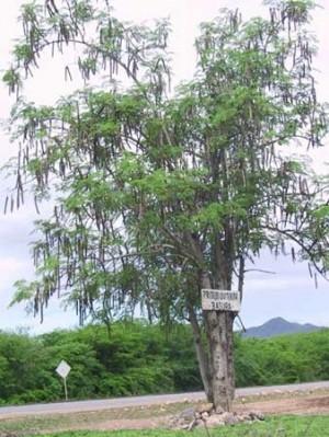 Oleifera_Oaxaca