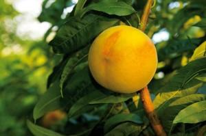 SanLucar Gold-Pfirsich am Baum
