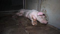 Tönnies-Zulieferer quälen, misshandeln und erschießen mit einem Gewehr Schweine
