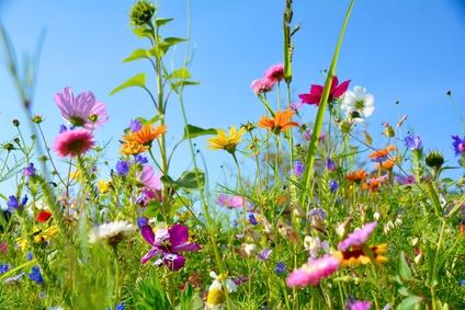 Sommerblumen, Sommerwiese