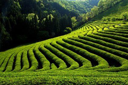 Pflanzenschutzmittelrückstände in Tees ?