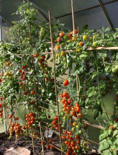 Bio-Gemüse: Tomaten