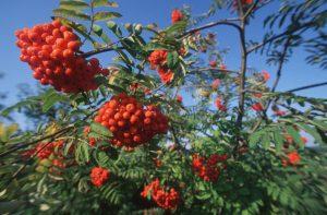 Die rot-orange leuchtenden Vogelbeeren aus dem Almenland