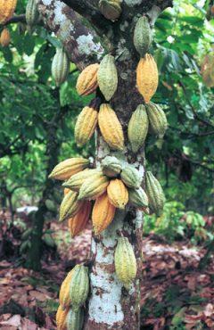 WEB-Studie_cocoa_tree4.jpg