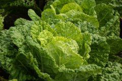 Sommerwirsing: mild-würzige Blätter für Salate und feines Gemüse