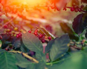 Arabica Kaffee: Coffea Arabica: Kaffeewissen, Tipps & Tricks by Flavura Kaffee und Kaffeeautomaten