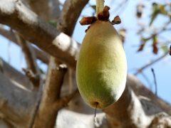 Baobab – Ein weiteres Superfood?