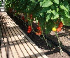 bio-tomaten-300x250.jpg