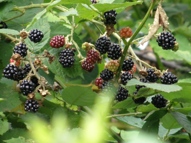 Brombeeren (Rubus sectio Rubus)