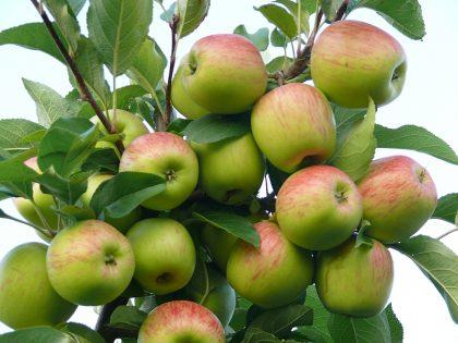 Frühäpfel