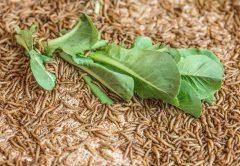 Mit Insekten gegen Food Waste