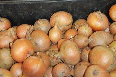 Frisch geerntete Zwiebeln aus heimischem Anbau