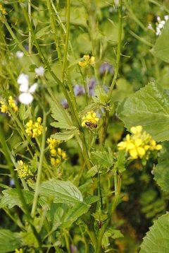 Zwischenfrüchte: Blühende Felder im Herbst