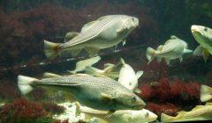 Wissenschaft alarmiert: Fischbeständen in der westlichen Ostsee droht Kollaps