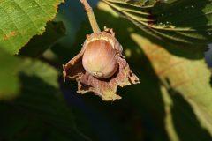 Der Haselstrauch bietet außer Nüssen auch Blätter als Gemüse und Blütenkätzchen für den Tee