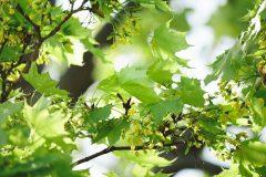 Ahorn – Essbares vom Baum: Keimlinge im Salat, Früchte als Kapernersatz