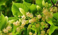 Treffpunkt Dorflinde: die jungen Blätter und Blüten sind essbar