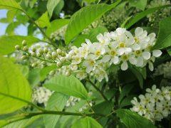 Traubenkirsche im Frühling:Blüten schmecken kandiert oder als Sirup