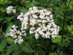 Phytotherapie: Heilkräuter fürs Gemüt